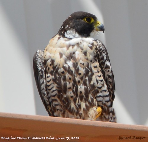 Peregrine Falcon at Alameda Point 6:17:18 | by Alameda Point Enviro