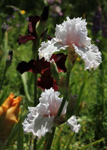 Iris 'Strawberry Frosting'- Michael Sutton 2009 42487765032_cdcb3f26c0