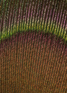 Peacock Feather | by Wade Tregaskis
