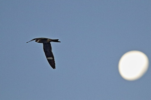 Common Nighthawk and Strawberry Moon 20180602