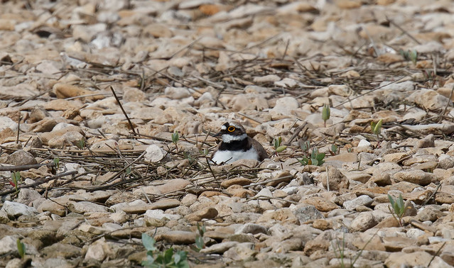 Little ringed plover 3 of 3 (Steart Marshes)