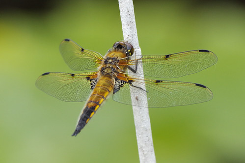 wild wildlife wickenfen nature nationaltrust fourspottedchaser dragonfly insect libellulaquadrimaculata