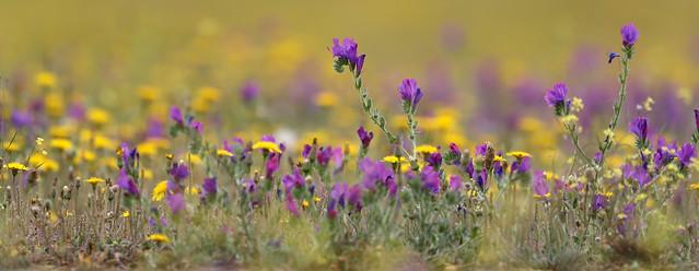 Flower meadow in Spain