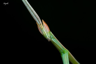 indian grass mantis, close-up | by Hayath