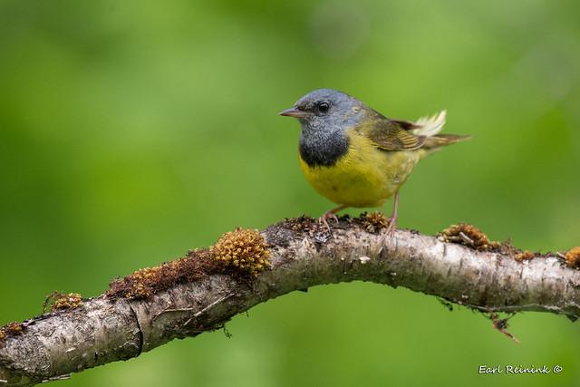 Morning Warbler