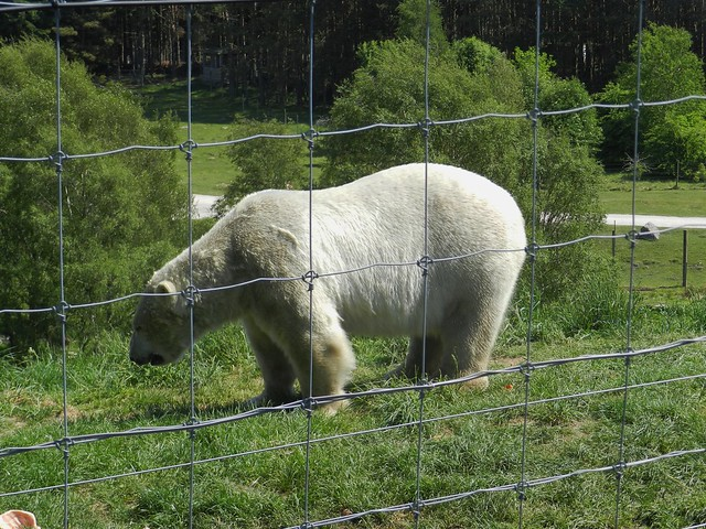 Walker the Polar Bear, Highland Willife Park, Kincraig, May 2018