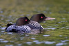 Common Loon by jrp76