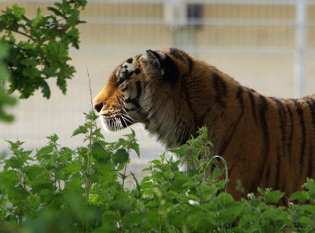 Amur tiger (9)