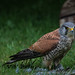 Kestrel in back garden by Photomad2013