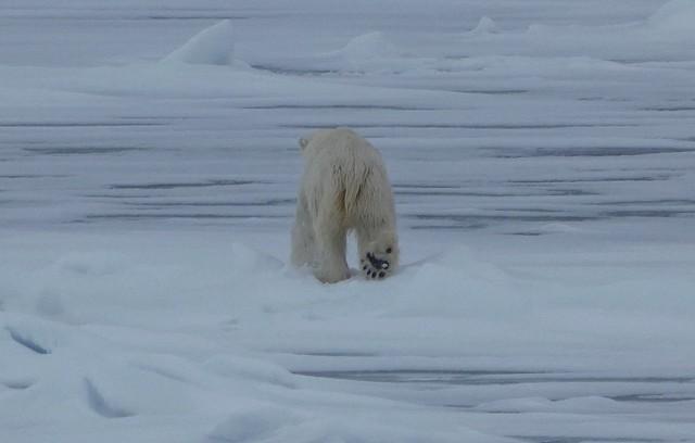 Oso polar caminando en Svalbard