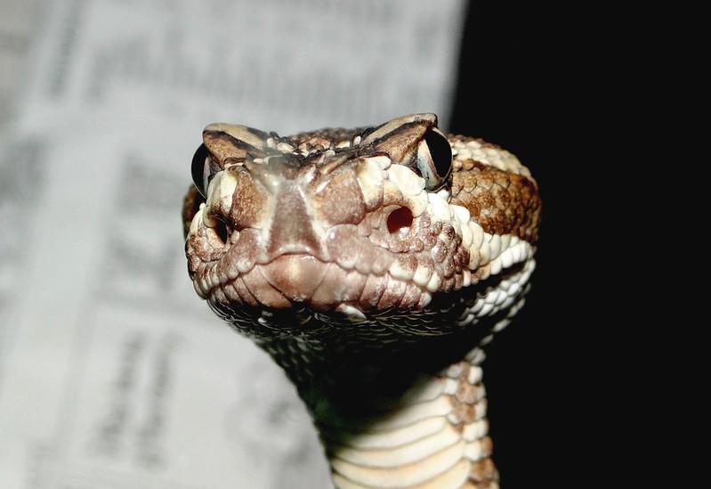 Rattlesnake Friday!