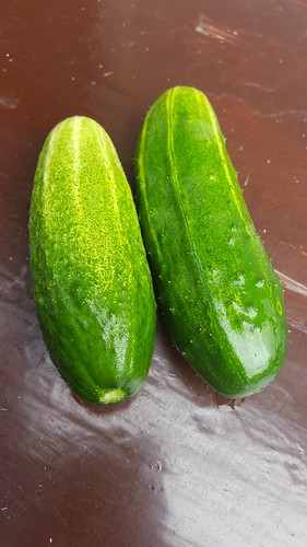 Cucumbers, first of 2018 | by chalkahlom
