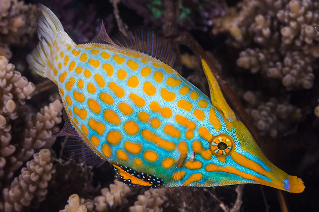 Longnose Filefish, male - Oxymonacanthus longirostris