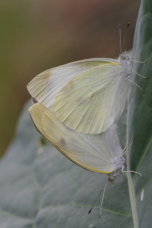 Mating of Pieris rapae
