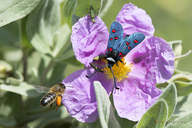 Sabrosa flor (Cistus albidus) - Tasty flower