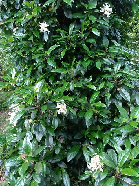 Hydrangea seemannii L. Riley 1924 (HYDRANGEACEAE).