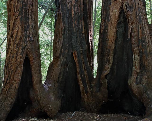 RedwoodsTrio_7739a