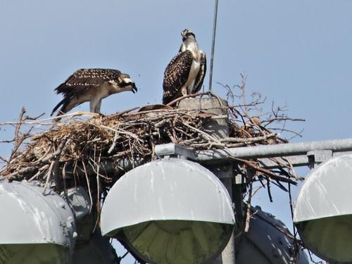 Osprey juveniles 01-20180609