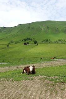 Abondance cattle @ Hike around Mont Lachat de Châtillon @ Le Grand-Bornand   by *_*