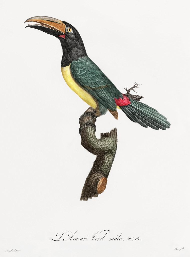 Green aracari from Histoire Naturelle des Oiseaux de Paradis et Des Rolliers (1806) by Jacques Barraband (1767-1809).