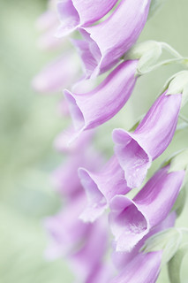Foxgloves | by Andrew Birch Photography