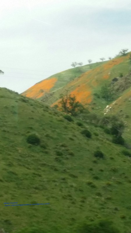 Poppies and green hills