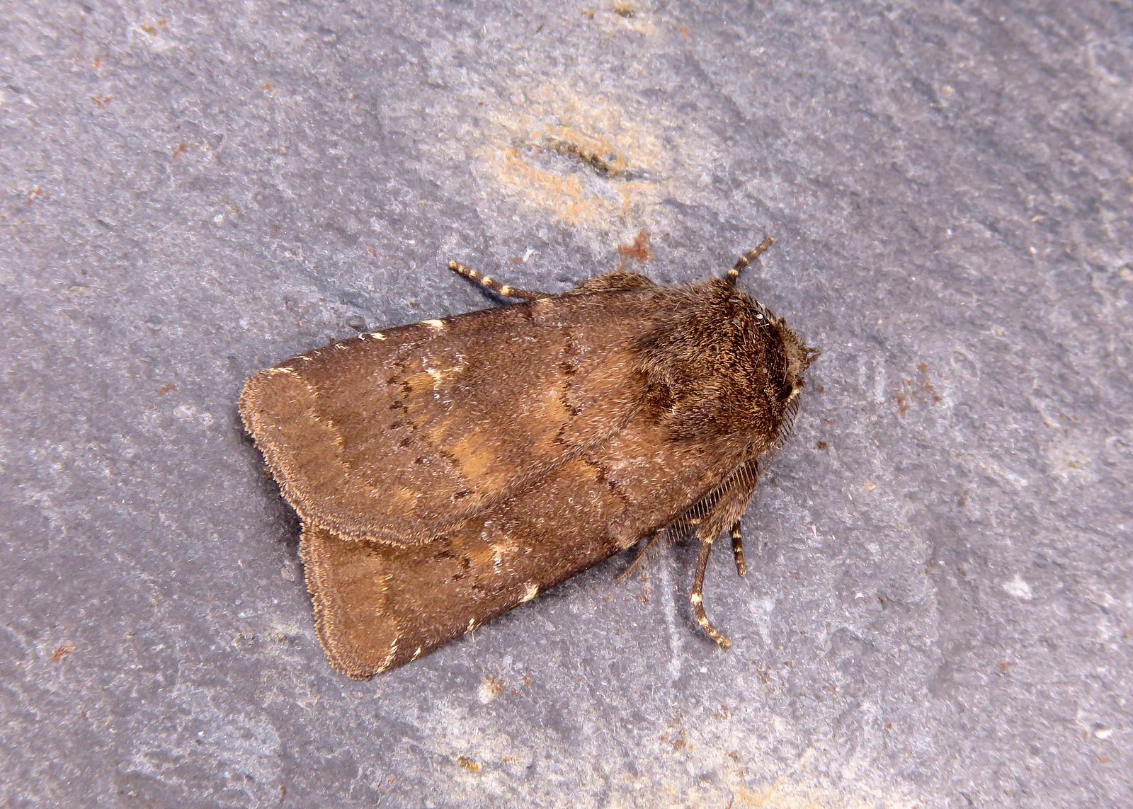 73.102 Brown Rustic - Rusina ferruginea