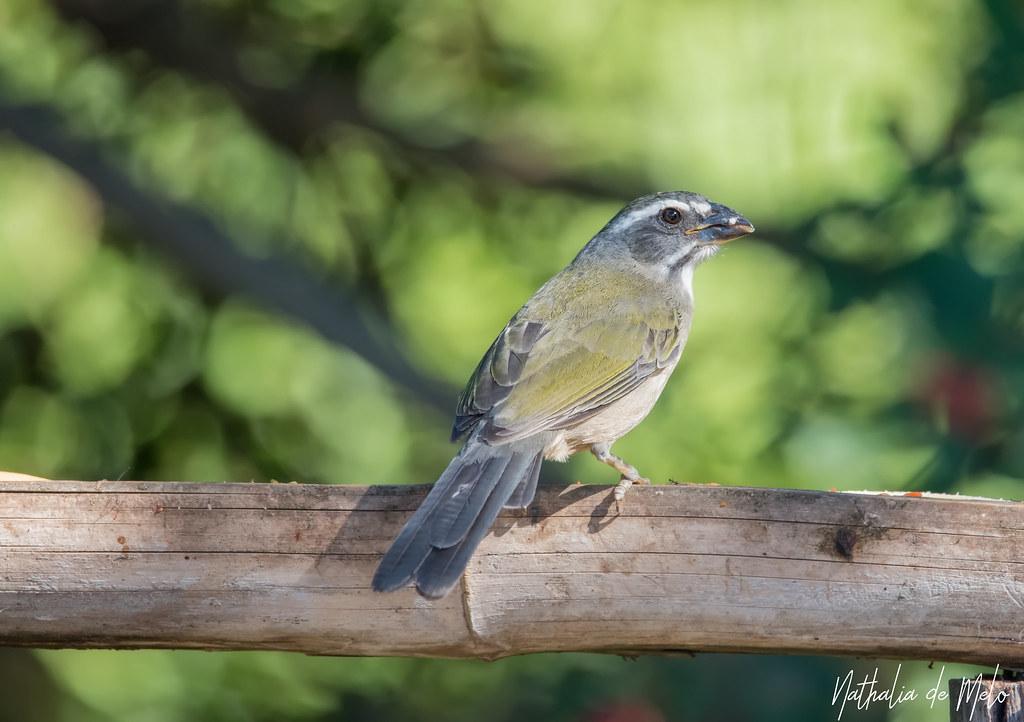 trinca-ferro (Saltator similis) - Green-winged Saltator