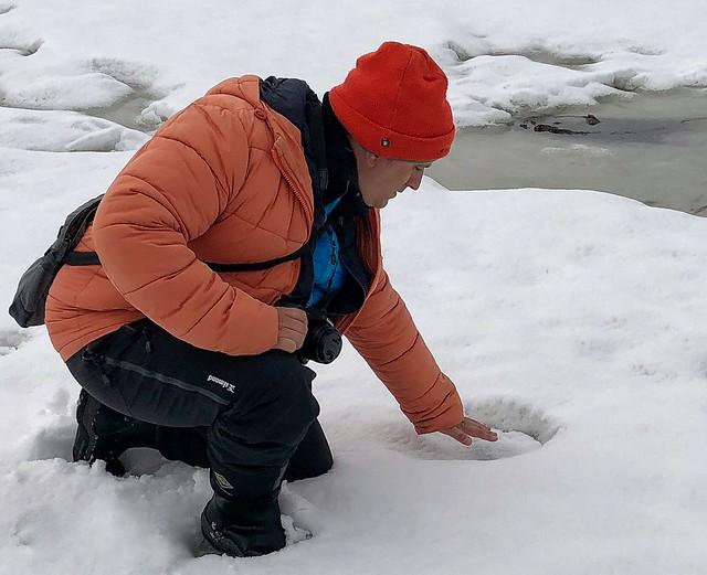 Sele rastreando la huella de un oso polar en Svalbard