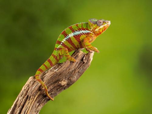Panther Chameleon | by JackBarley