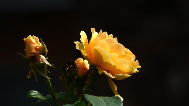 Rose - 5300