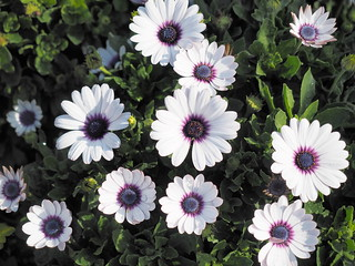 Osteospermum, or African daisies at Zhong She Toursight Flower Market 中社观光花市, Taichung, Taiwan. | by huislaw