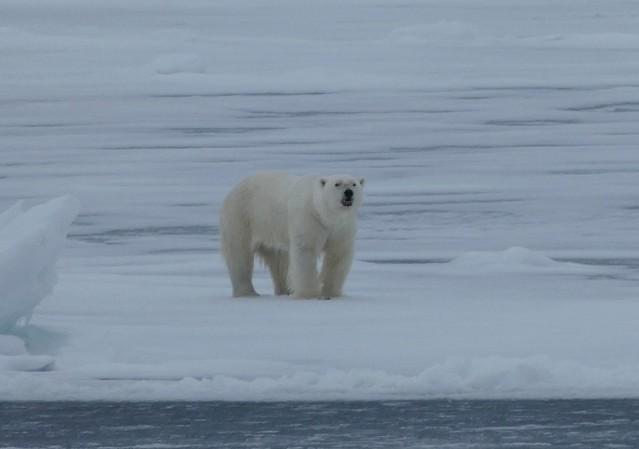 El oso polar, uno de los principales animales que ver en Svalbard (Safari Ártico)