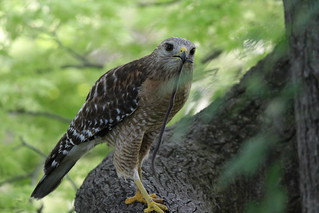 Red Shouldered HAwk | by johnd1964