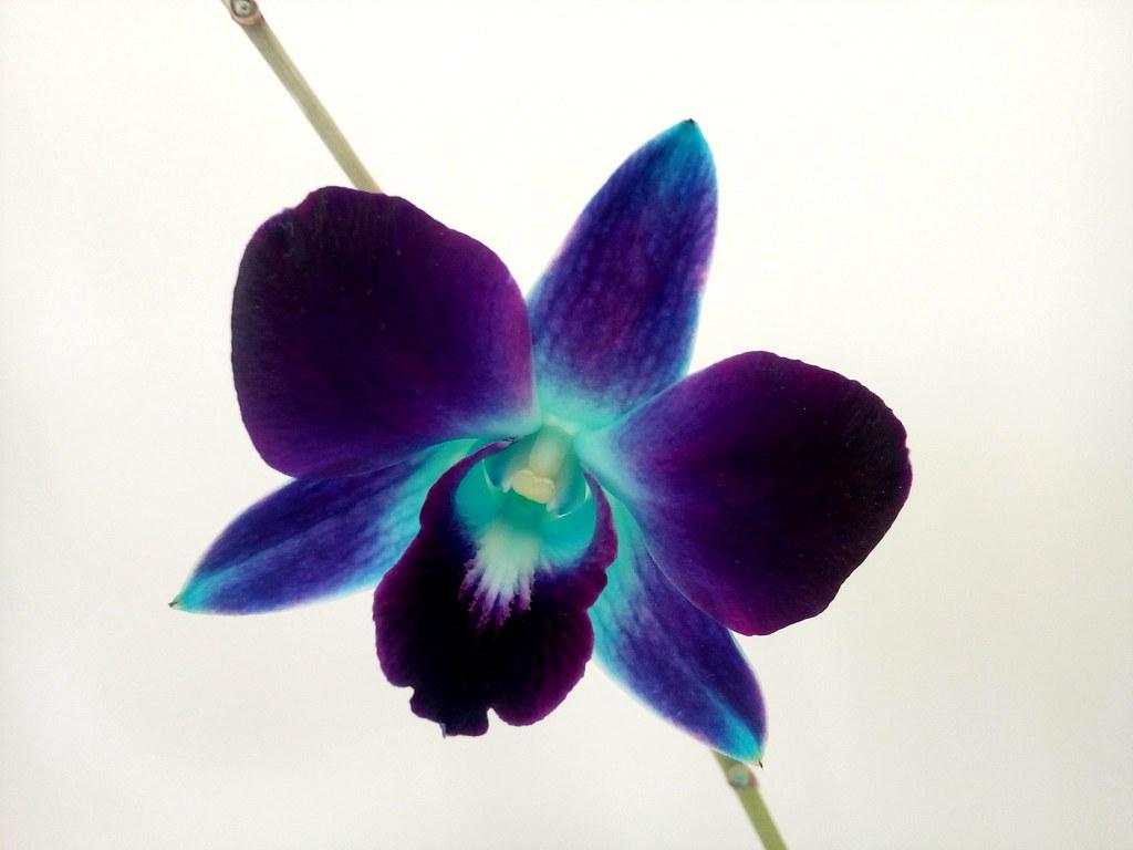Galaxy Orchid Valentina Flickr
