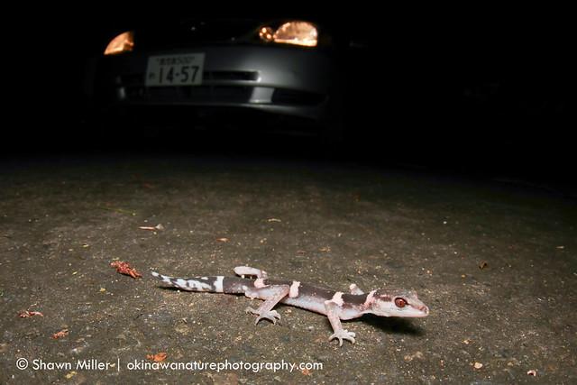 Banded Ground Gecko- Tokuno Island