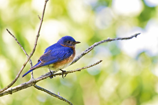 early morning bluebird | by G_Anderson