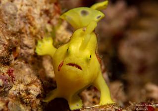 Juvenile yellow clown frogfish 2 of 5