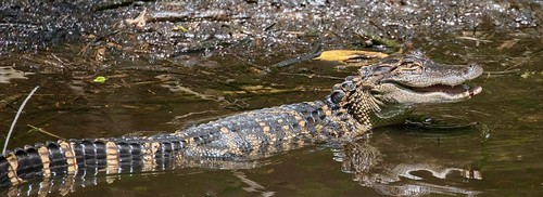 2y3a60731 alligators florida corkscrewswampsanctuary