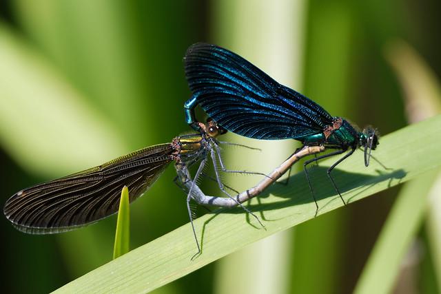 Beautiful Demoiselle (Calopteryx virgo) Blå jungfruslända