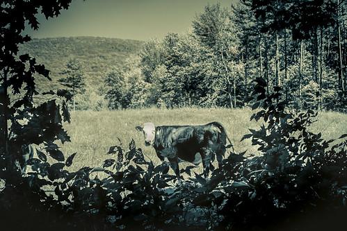 cow pasture sunny day landscape leaves gradient vinette forest canon canon70d newengland farm farming