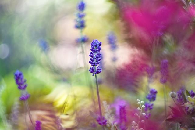 Lavender garden.