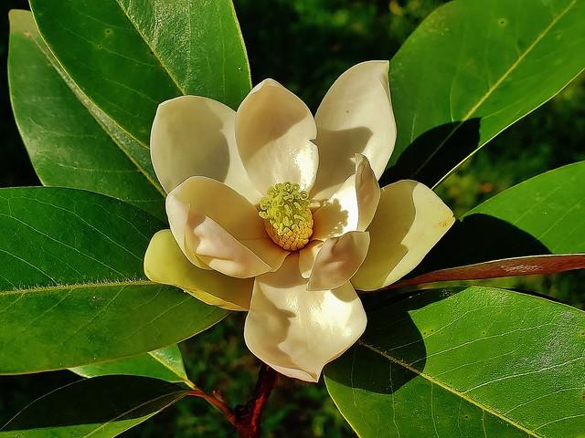 Sweet Bay Magnolia At Fort Howard