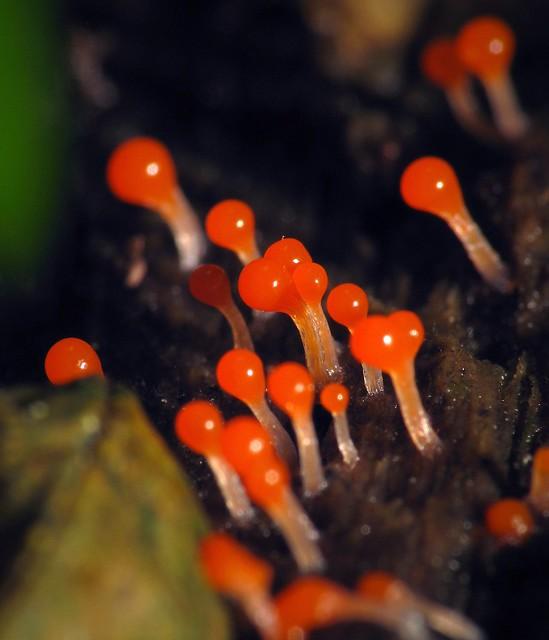 Red Slime Mold Sporangia