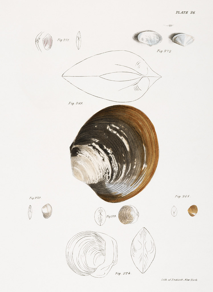 Different types of seashells illustration from Zoology of New york (1842 - 1844) by James Ellsworth De Kay (1792-1851).