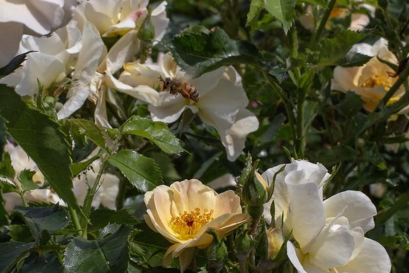 Rosarium SGH Bee