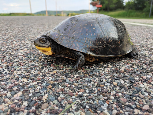 Blanding's Turtle Crossing | by U.S. Fish and Wildlife Service - Midwest Region