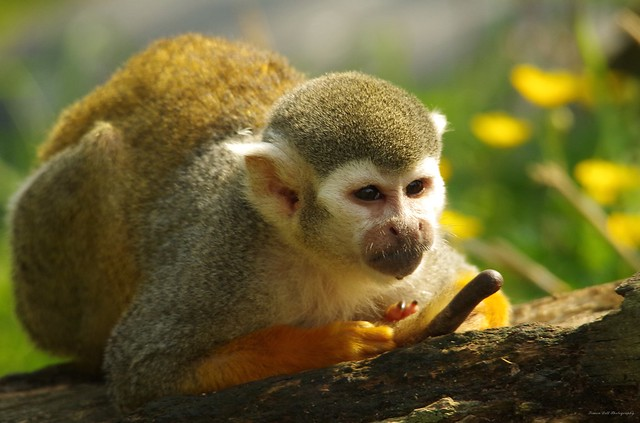 Squirrel Monkey (1)