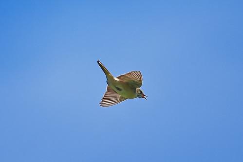Камышевка-барсучок, Acrocephalus schoenobaenus, Sedge Warbler | by Oleg Nomad