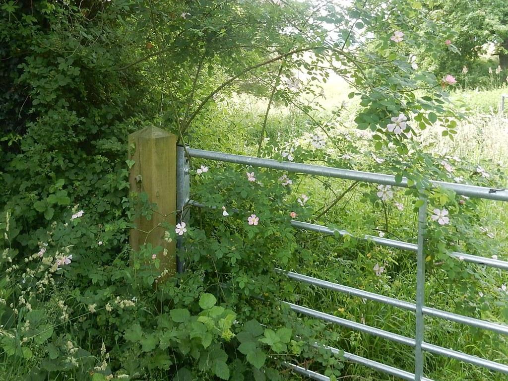 Roses by a gate Pulborough Circular